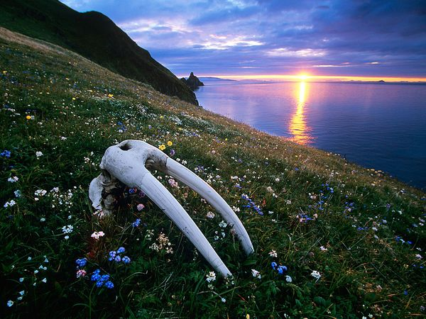 Walrus Skull at Bristol Bay. Photo by: Michael Melford