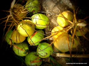 The Aeta men went up their coconut trees and gave us these for refreshment.